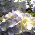 ふつうの紫陽花さん