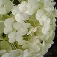 白紫陽花Ⅳ