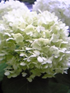 白紫陽花Ⅲ