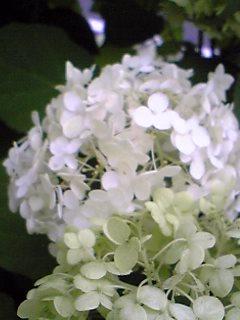 白紫陽花Ⅰ